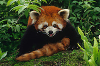 Red Panda (Ailurus Fulgens) Qionglai Mts. Cental China