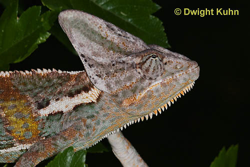 CH51-515z  Male Veiled Chameleon in display color,  Chamaeleo calyptratus