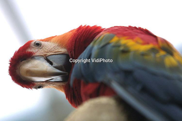 Foto: VidiPhoto..RHENEN - Ouwehands Dierenpark heeft sinds vrijdag de grootste groep vliegende ara's van Nederland. De 50 papegaaien werden vrijdag losgelaten in het nieuwste project van het park, de Latijns-Amerikaanse jungle Urucu..