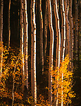 Autumn Aspen Trees,Lukcachukai Mountain,Arizona