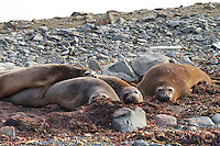 Southern elephant seal cows group together on Aitcho Island, in the South Shetland Islands near the Antarctic Peninsula.