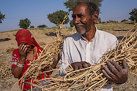 Guar farmers Pemaram Jangu, 70, and his wife Jhuma Jangu, 65, pose for a portrait with their crop in their field in Hameira village, Bikaner, Rajasthan, India on October 23, 2016. Non-Profit Organisation Technoserve works with Guar farmers in Bikaner to provide technical farming knowledge to them, improving their crop yield through good agricultural practices. Photograph by Suzanne Lee for Technoserve