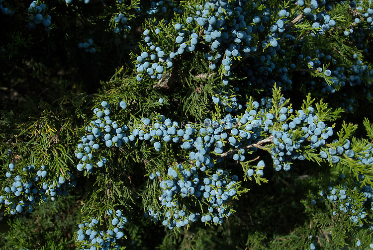 Juniperus communis in blue berries fruit berry, conifer tree shrub, makes gin. Berries are actually female cones
