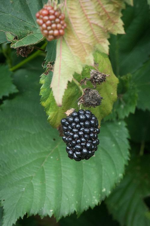 Blackberry 'Čačanska Bestrna', early September. A high-yielding, thornless variety bred in Serbia in the 1980s as a cross between 'Dirksen Thornless' and 'Black Satin'.
