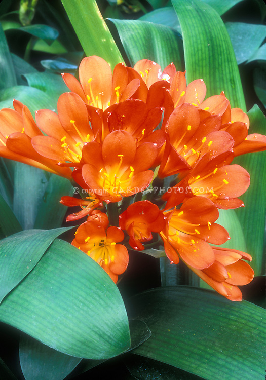 Clivia miniata Belgian Orange Bush Lily showing many flowers and foliage