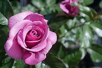 Rosa Barbara Streisand aka Wekquaneze, hybrid tea rose, lavender blue mauve