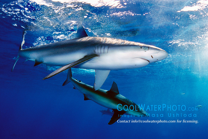 Galapagos sharks, .Carcharhinus galapagensis, .note copepod parasites, .North Shore, Oahu, Hawaii (Pacific).