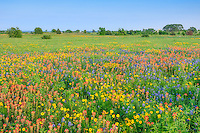 Bluebonnets, Indian Paintbrush, and other wildflowers dominate the landscape of South Texas in the springtime