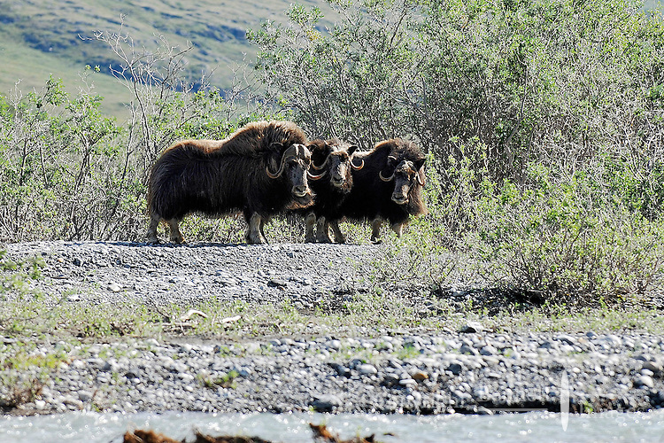A herd of muskoxen goes into a defensive position when surprised along the Marsh Fork of the Canning River, in Alaska's Arctic National Wildlife Refuge. The muskox, with its thick fur, is one of the few animals that lives year-round in the Arctic.
