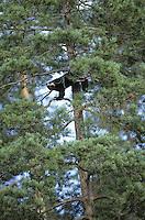 Vielfraß, Vielfrass, Järv, klettert auf Baum, Gulo gulo, wolverine
