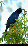 Great-Tailed Grackle, Lake Havasu, Arizona