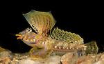 Lancer Dragonet, Paradiplogrammus bairdi, male Mating display