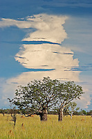 Boab trees under a building thunderstorm cloud near Halls Creek.I They store water in their swollen trunks that help keep them alive during the dry season,<br /> Indigenous Australians used baobabs as a source of water and food, and used leaves medicinally. They also painted and carved the outside of the fruits and wore them as ornaments. A very large, hollow baobab south of Derby, Western Australia was used in the 1890s as a prison for Aboriginal convicts on their way to Derby for sentencing. The Boab Prison Tree still stands and is now a tourist attraction.