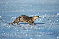 River otter (Lutra canadensis) trotting across ice on frozen lake, Winter.