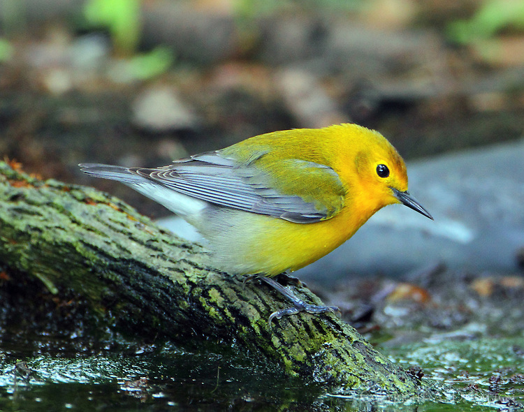 First-year female prothonotary warbler in April