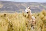 Alpaca (Vicugna pacos) male, Ciudad de Piedra, Andes, western Bolivia