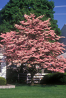 Cornus florida 'Cherokee Chief' pink dogwood tree in spring bloom