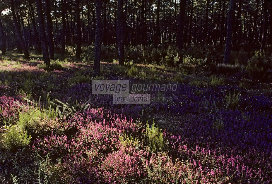 Europe/France/Aquitaine/33/Gironde/Env de Soulac: Forêt de pins et bruyère
