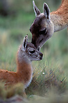 CHILE, TORRES DEL PAINE NAT'L PARK, GUANACOS, BABY (CHULENGO), WITH MOTHER GETTING SCENT