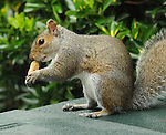 A visit from one of my Squirrel neighbors to my patio for a peanut I had set out for it on Wednesday,  June 10, 2009. Photo copyright Jim Peppler/2009. All Rights Reserved.