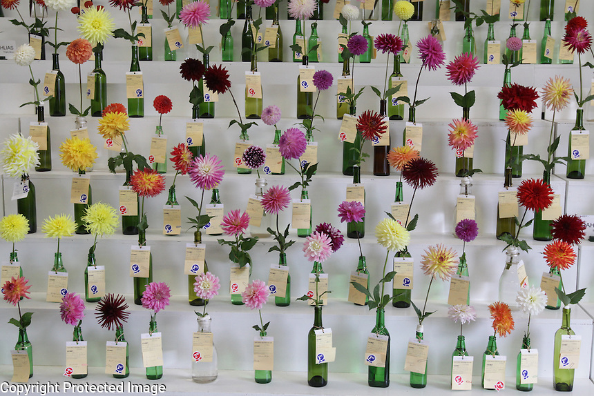 Dahlia competition at the NW Washington Fair. August 17, 2009 PHOTOS BY MERYL SCHENKER