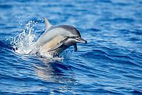 Hawaiian spinner dolphin, or Gray's spinner dolphin, Stenella longirostris longirostris, jumping, Big Island, Hawaii, USA, Pacific Ocean