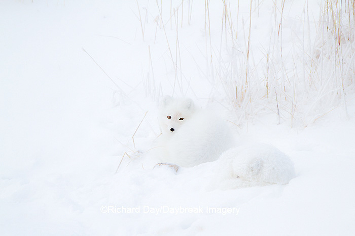 01863-01413 Two Arctic Foxes (Alopex lagopus) in snow Chuchill Wildlife Mangaement Area, Churchill, MB Canada