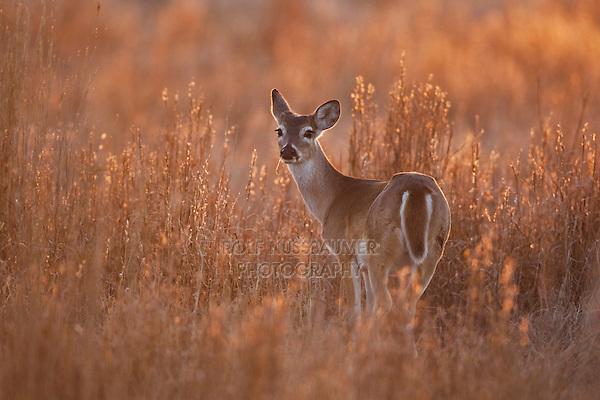 White-tailed Deer (Odocoileus virginianus), doe, Sinton, Corpus Christi, Coastal Bend, Texas, USA