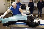 Foto: VidiPhoto<br /> <br /> ARNHEM – Een van de grootste en indrukwekkendste chimpansees van Burgers' Zoo, en zelfs de toekomstig leider van de chimpanseegroep, kan zich vanaf dinsdag niet meer voorplanten. Chimpansee Ghinau (14 jr; 65 kg) blijkt een zogenoemde hybride aap, een kruising tussen twee verschillende ondersoorten, terwijl de Arnhemse dierentuin alleen wil fokken met westelijke chimpansees. Dierentuinen streven er naar apengroepen zo raszuiver mogelijk te houden, zodat de mogelijkheid open blijft om ze in de toekomst terug te kunnen plaatsen in het wild. Ghineau heeft eerder een vasectomie ondergaan, maar deze ingreep bleek niet afdoende.