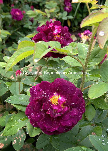 (Country Life Use Only)<br /> BETHLEHEM CT. 19 June 2014-061914SV12-Roses grow in the garden at the Bellamy-Ferriday house in Bethlehem. Rose name - Tuscany.<br /> Steven Valenti Republican-American