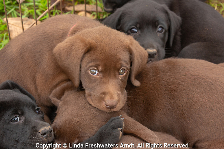 Litter of Labrador retriever puppies
