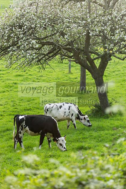 France, Calvados (14), Pays d' Auge,  Cricqueville-en-Auge: Vaches en pâturage et pommiers en fleurs // France, Calvados, Pays d' Auge, Cricqueville en Auge: Grazing cows and flowering apple trees