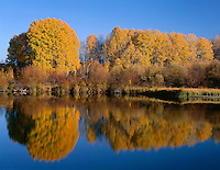 ORCAC_094 - USA, Oregon, Deschutes National Forest, Autumn colored quaking aspen trees reflect in the Deschutes River.