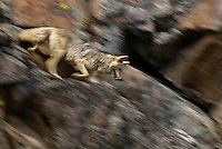 Wild Coyote (Canis latrans) trotting down rocky, cliff face.  Western U.S., June.