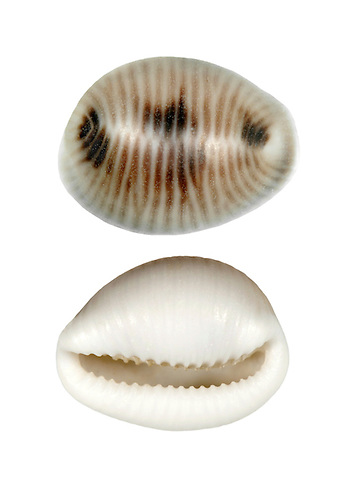 Spotted Cowrie - Trivia monacha