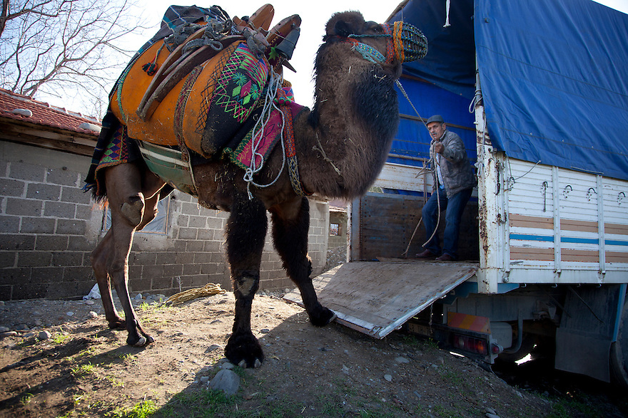 Pelitkoy, Turkey--Camel owner Mustafa Akgun tries to coax a reluctant .camel into a truck in order to be transported to a competition in nearby town of Pelitkoy in the Aegean region of Turkey, where camel wrestling is popular. PHOTO BY JODI HILTON