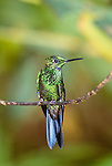 Green-crowned briliant hummingbird, Venezuela