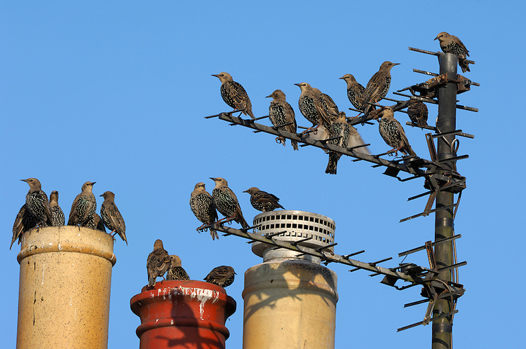 Starling Sturnus vulgaris L 20-22cm. Familiar urban and rural bird with swaggering walk. Forms large flocks outside breeding season. Sexes are separable in summer. Adult male in summer has dark plumage with iridescence seen in good light. Legs are reddish and bill is yellow with blue base to lower mandible. Adult female in summer is similar but has some pale spots on underparts and pale yellow base to lower mandible. Winter adult (both sexes) has numerous white spots adorning dark plumage and dark bill. Juvenile is grey-brown, palest on throat; bill is dark; spotted body plumage acquired in winter. Voice Varied repertoire of clicks and whistles including mimicry. Status Widespread and common but declining. Found in all kinds of open habitats in winter. Often nests in house roofs.