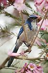 4879-FJ Scrub Jay, Aphelocoma coerulescens, in Pink Trumpet Tree, Tabebuia impetiginosa (ipe), at Huntington Gardens in CA