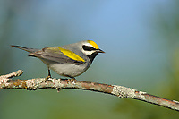 Adult male Golden-winged Warbler (Vermivora chrysoptera). St. Lawrence County, New York. May.