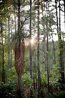 In the Weymouth Woods Sandhills Nature Preserve, the long leaf pines appear in many different generations, from seedlings to old gnarly stands.