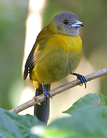 Female Passerini's tanager