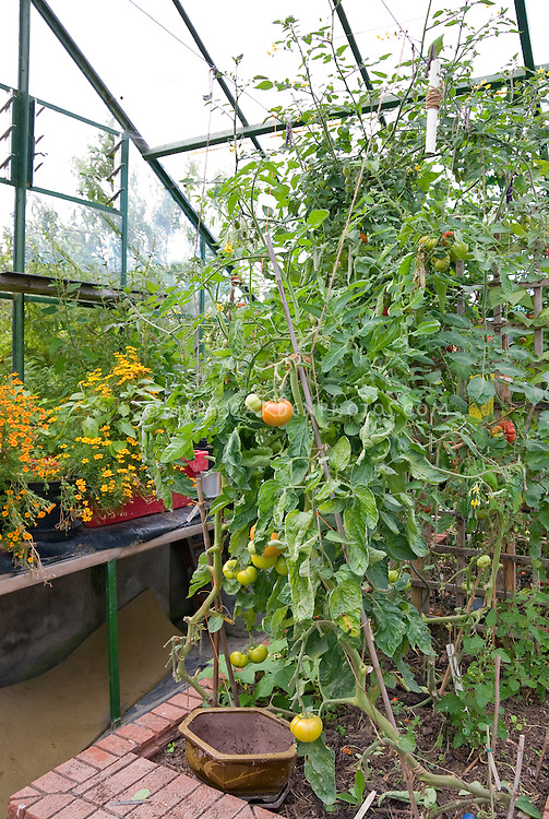 Interior of a greenhouse with tomato plants growing inside, vegetable garden with marigold flowers
