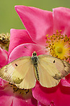 Clouded Sulphur butterfly, Colias philodice