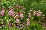 Pink Lady's-slippers (Cypripedium acaule) preserved by the Frenchman Bay Conservancy in Hancock County, Downeast, ME, USA