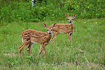 White-tailed fawns in summer