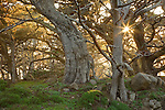 Point Lobos State Reserve, CA<br /> Sun in Cypress branches (Cuperessus macrocarpa) of Allen Memorial Grove on the Cypress Grove Trail