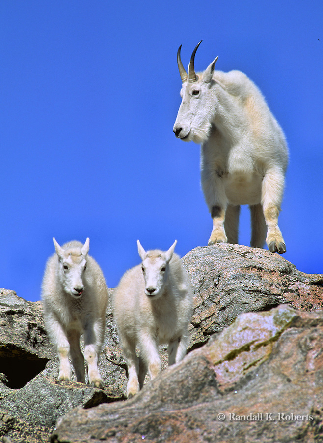 Mountain goat mom and kids, Mt. Evans, Colorado.  Oreamnos americanus