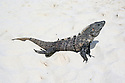 lizard or iquana on sand at mexican beach