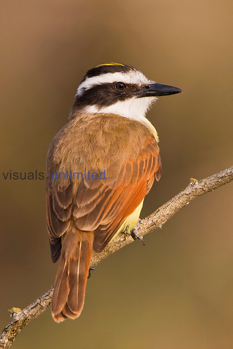Great Kiskadee (Pitangus sulphuratus) perched on a branch in South Texas, USA.